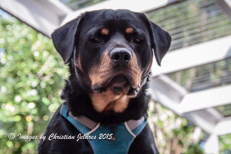 Luther The Rottweiler Featured In The Waggle Model Dog Gallery